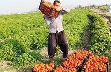 پشت پرده پرواز قیمت رب گوجه فرنگی در قطب تولید گوجه فرنگی