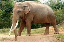 افتتاح اولین بیمارستان فیلها در هند