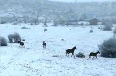 اسبهای وحشی و آزاد در طبیعت برفی گلستان
