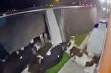 حادثه وحشتناک برای گاوها پس از چپ کردن تریلی