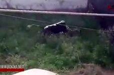 فرار گاو خشمگین پس از حمله به چند مرد