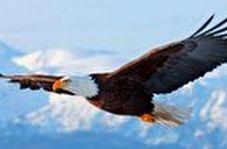 رکب خوردن یک عقاب تیزبین هنگام شکار روباه