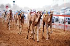 گزارشگریِ حماسی مسابقه شترهای حکام حاشیه خلیج فارس! + فیلم