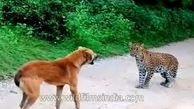 حمله پلنگ به یک سگ و واکنش دیدنی هر دو!