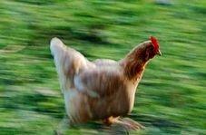 وقتی مرغ ها هم پرواز می کند!
