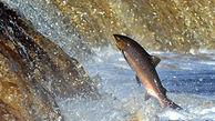 دستگاهی که مسیر تردد ماهیهای پشت سد مانده را باز میکند