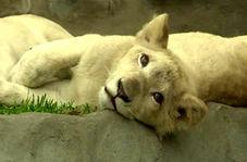 تولد شیرهای سفید در باغ وحش