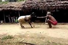 مبارزه عجیب پیرمرد هندو با یک گوسفند