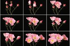 تایم لپسی از باز شدن شکوفه گلها