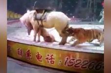 حمله وحشتناک ببر به اسب در سیرک