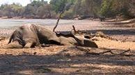 صحنه های تاثر برانگیز ازمرگ فیلها به دلیل خشکسالی+فیلم