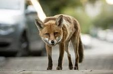 مهاجرت روباهها به تهران به عشق فست فود!
