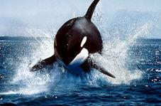 پناه بردن شگفت انگیز بچه شیر دریایی به یک قایق تفریحی از دست نهنگهای قاتل