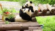 شیطنت پانداهای غول پیکر دوقلو در چین