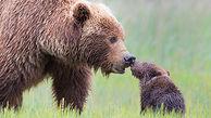 نجات توله خرس در مقابل چشمان نگران مادرش