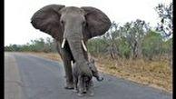 عشق عجیب فیل مادر به بچه اش!