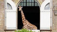 پیوستن زرافههای باغ وحش لندن به برنامه حمایت از کادر درمانی