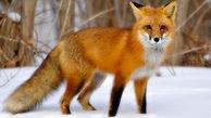 شکارچیان چگونه با تقلید صدای روباه ماده، روباه نر را شکار میکنند؟