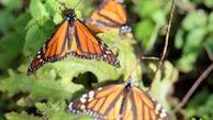 «پروانههای شهریار» به مکزیک رسیدند