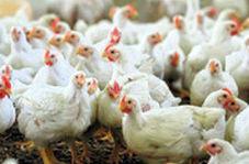 راز قیمت پایین مرغ در اروپا فاش شد