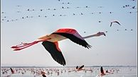 پرواز زیبای فلامینگوها بر فراز دریاچه زیبای ارومیه