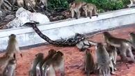 تلاش دهها میمون برای نجات دوستشان از چنگ مار پیتون! + فیلم