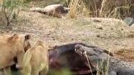 ورود میهمان ناخوانده به ضیافت شیرها