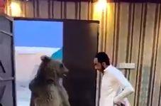 زورآزمایی شهروند عراقی با خرس غولپیکر!