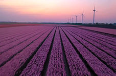 زیبایی چشم نواز فصل گل لاله در هلند