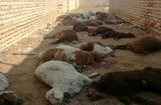 """حمله گرگها به گله گوسفندان روستای """"دارین"""""""