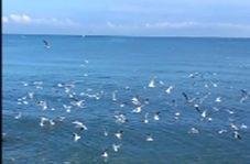 پرواز زیبای پرندگان در ساحل نوشهر