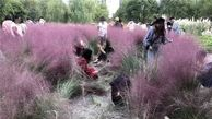 سلفی گیران بی فرهنگ، مزرعه زن نگون بخت را نابود کردند!