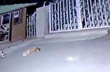 حمله غافلگیرکننده پلنگ به سگ نگهبان