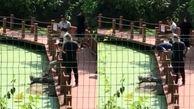 اقدام خطرناک یک توریست در محل حفاظت شده کروکودیل ها!