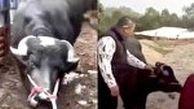 صحنه باورنکردنی که گاو باردار حین سربریدن رقم زد!