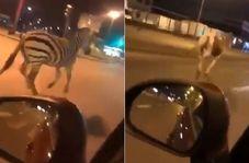شگفتی شهروندان با دیدن حیوانات سیرک در خیابان!