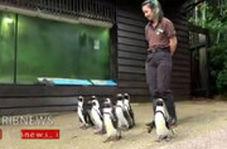 تصاویری از گردش دسته جمعی پنگوئن ها در باغ وحش سنگاپور