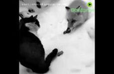 دعوای تماشایی گربه و روباه بر سر یک تکه سوسیس!