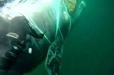 لحظه نجات نهنگ غولپیکر از میان طنابهای ماهیگیری
