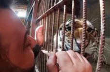 رفاقت مرد سوری با شیرها و ببرها در پناهگاه حیوانات