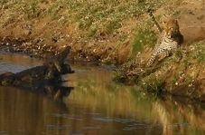 جدال دیدنی پلنگ گرسنه با تمساح آفریقایی بر سر طعمه