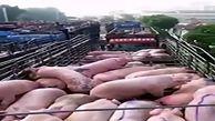 زنده سوزاندن خوکها در چین برای مقابله با تب خوکی آفریقایی
