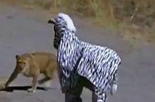 عاقبت رفتن به قلمروی حیوانات با لباس گورخر