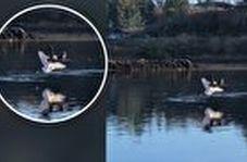حمله عقاب به مرغ دریایی نگون بخت