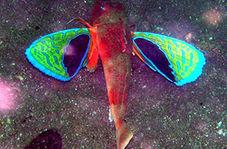 ماهی منحصربه فردی که بالهایی شبیه به پروانه دارد