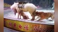 حمله وحشتناک ببر به اسب در سیرک + فیلم