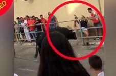 لحظه دلهرهآور حمله غافلگیرانه گاو به تماشاچی