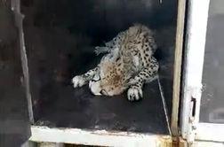 فیلمی از لحظه به هوش آمدن یوزپلنگ ایرانی در حال انتقال به پارک ملی توران