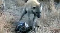 ربودن شکار مار پیتون توسط کفتارها + فیلم