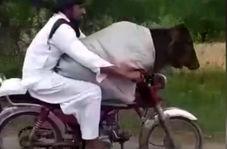 قاچاق گاو از هند به پاکستان با موتورسیکلت!